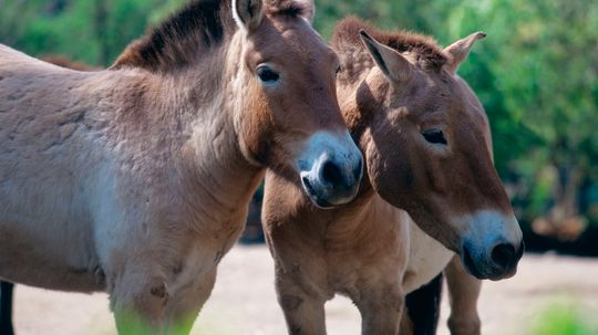 How were tarpans different from domestic horses?