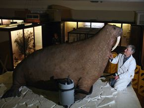 Derek Frampton gives the Horniman Museum's walrus a spring cleaning in London, England.