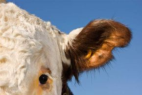 This Hereford cow has an RFID tag in its ear. The tag lets the farmer know how much and  when each cow is eating.