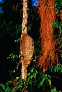 A termite nest on a palm tree at