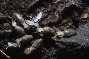 Termites can devour the wood in a home,