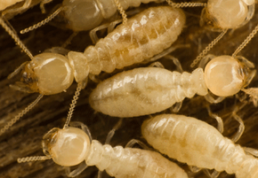 Termites can quickly do serious damage to your foundation, or to the structures that make contact with it.