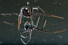 With the telltale red hourglass visible on her abdomen, a female black widow spider craws over the surface of a mirror -- just one example of a beautiful and terrifying spider.
