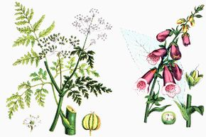 This botanical drawing of two common poisonous plants (hemlock on the left and foxglove on the right) was published in 1890.