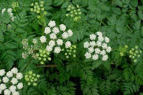 Hemlock can be mistaken for wild parsley.