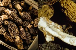 The mushrooms on the left are real morels, while the ones on the right are false morels, which can be very toxic.