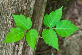 "Poison ivy may resemble Virginia creeper so one way to keep them straight is this rhyme: ""Leaves of three, let them be."""