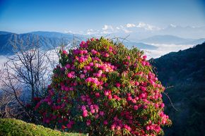 The most poisonous part of the rhododendron is the nectar.
