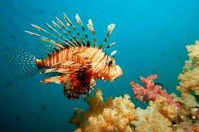 Lionfish have multiplied in the Caribbean Sea where they have no known predators.