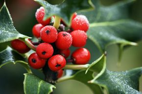 Frost-covered holly berries look good enough to eat. But they are poisonous.