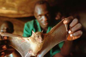 A Ugandan man displays a bat he captured for food. Bats carry a lot of viruses.