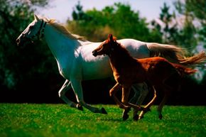 Under stud book guidelines, a foal's color not matching either of its parents may lead to genetic blood testing to determine if it can be registered as a Thoroughbred.