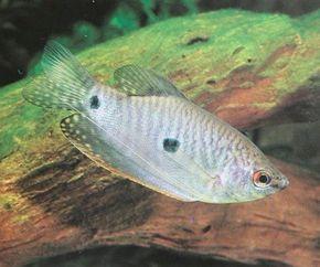 Three-Spot Gourami -- trichogaster trichopterus See more aquarium fish pictures.