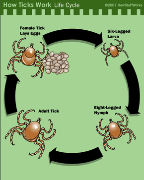 The tick life cycle. In some species, all stages take place on the same host. In others, the tick drops to the ground, molts and finds a new host.