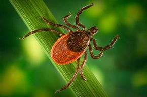 A questing blacklegged tick