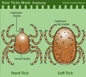 Hard tick vs. soft tick