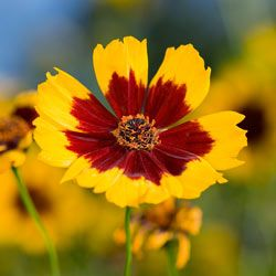 A coreopsis tinctoria captures morning light in a beatiful late summer meadow. See more perennial flower pictures.