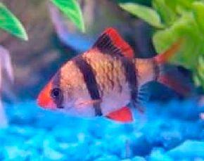 Tiger Barb -- barbus tetrazona See more aquarium fish pictures.