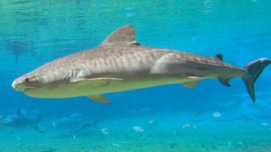How Tiger Sharks Work