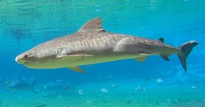 You can't see them in this picture, but the juvenile tiger shark has stripes like a tiger. See more shark pictures.