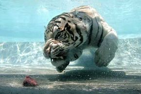 Odin, a white tiger at Six Flags Discovery Kingdom, wows crowds with his underwater prowess. See more pictures of tigers.