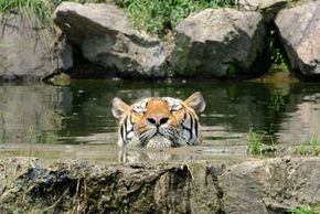 Tigers beat the heat by taking a swim.