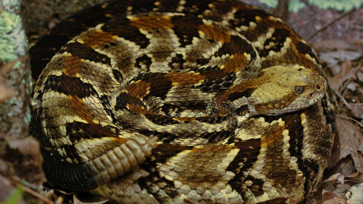 非常に有毒なシンリンガラガラヘビはアメリカのアイコンです