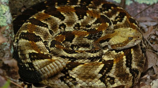 The Highly Venomous Timber Rattlesnake Is an American Icon