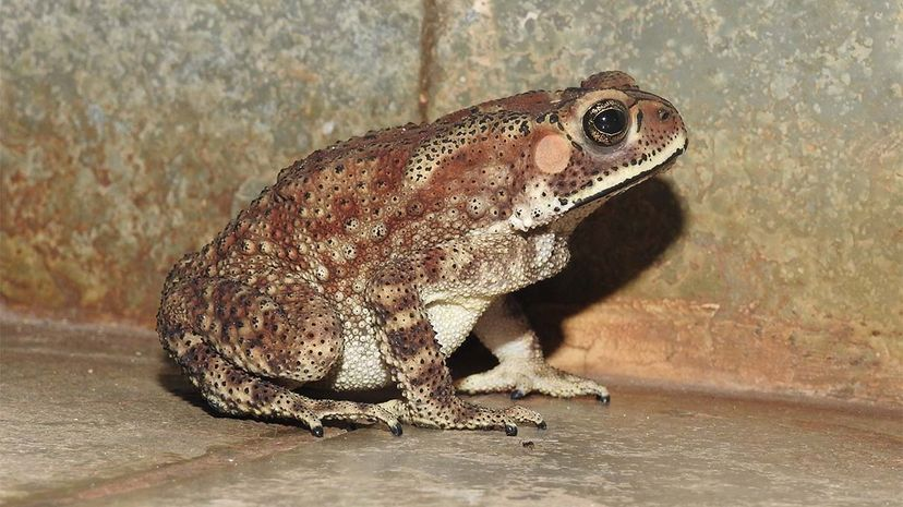 common, toad