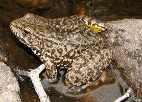 Southern Mountain Yellow-Legged Frog