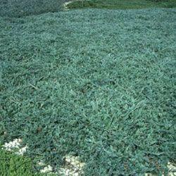 Blue rug juniper.
