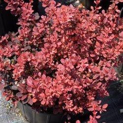 Rose Glow barberry.
