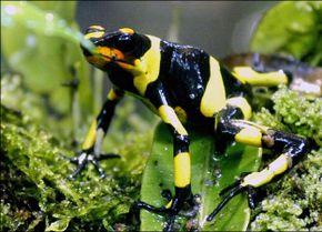 Lehmann's Poison Frog