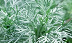 Silver mound, a common variety of Artemisia, is fairly drought resistant and does well in full sun to partial shade.
