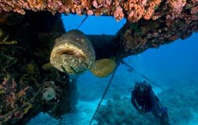 Goliath Grouper: Their harvesting has been banned.