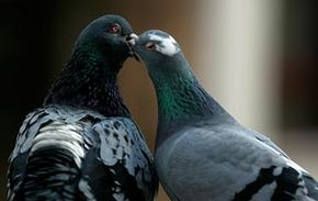 Pigeon papas are not rolling stones. They mate for life and help feed their babies.