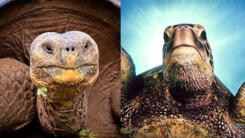 Tortoise-turtle