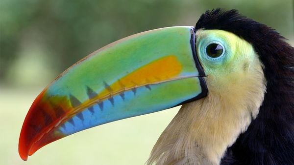 The Toucan Is Far More Than the Froot Loops Mascot