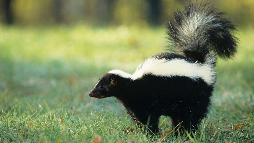 striped skunk (Mephitis mephitis) spraying