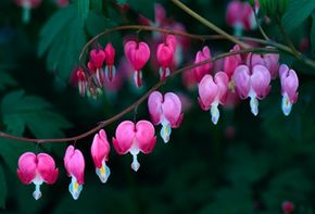 The bleeding heart blossoms make perfect accompaniment to tulips and forget-me-nots.