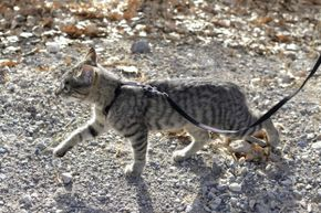 Some cats take to leash training quickly; some need more time to adjust.