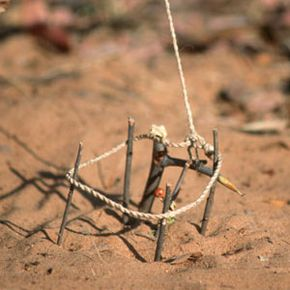 A South African bushman carefully constructed this trap to catch wildlife.