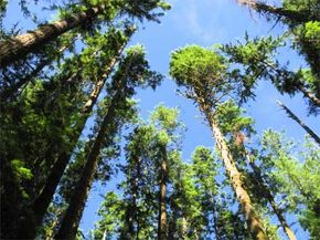 One study found that Douglas firs have the highest theoretical height, but most of the world's tallest trees are redwoods. See more pictures of trees.