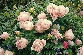 The tree peony's flowers perfectly encapsulate Victorian cottage charm.