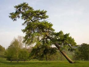 Trees build up a natural resistance to wind called wind firmness.