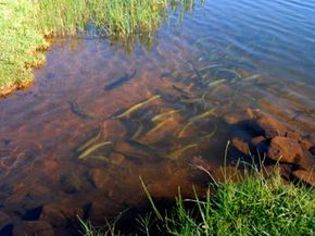 School of Rainbow trout (Oncorhynchus mykiss) swimming in pond, Mpumalanga, South Africa