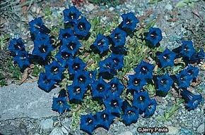 Trumpet Gentian is used to alpine climates, making it a perfect addition to a rock garden.