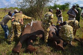 A ground crew takes data and fits a tracking collar to a wild elephant after it was darted by Kenya Wildlife Service. Drones protect elephants from armed poachers in remote parts of Kenya.