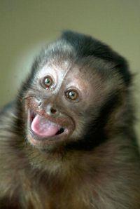 Capuchin monkeys like Minnie, shown above, make great helper monkeys. They also appear to exhibit a sense of fairness.