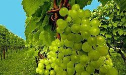 Oregon's world-class vineyards produce many respected and award-winning wines.